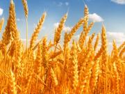 Продам пшеницю оптом Луцьк