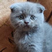 Продаються шотландські висловухі кошенята Самбір