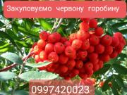 Систематично закупаем РЯБИНУ Полтава