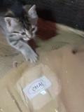 Маленькі , гарненькі кошенята шукають сім'ю. Відгукніться будь-ласка Кременчук