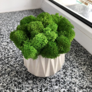 Гипсовое кашпо со мхом MiNature Moss ягель норвежский Рівне