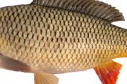 Услуги по выращиванию рыбы Кролевець