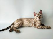 Бенгальский котенок Київ