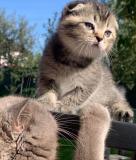 Продам котенят Вінниця